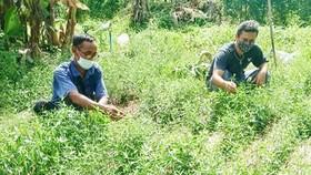 Cuộc săn lùng xuyên tâm liên để chữa Covid-19 ở Thái Lan