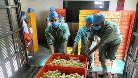 Công nhân vận chuyển gà con về trang trại chăn nuôi