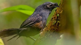 Phát hiện loài chim quý hiếm nhất hành tinh