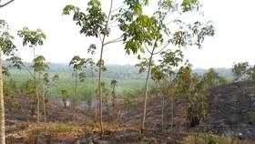Một phần đất xâm canh trồng cao su của ông Lý