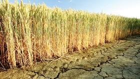 Do hạn hán kéo dài, sản lượng ngũ cốc của Romania trong niên vụ 2020-2021 được dự báo sẽ giảm 2,6%. Ảnh: Reuters