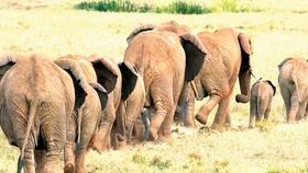Angola nhận hồi hương hàng chục ngàn con voi