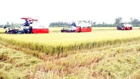 Sản xuất lúa gạo ở ĐBSCL đã chuyển hướng sang hiện đại với nhiều giống lúa cho gạo phẩm cấp cao. Ảnh: CAO PHONG