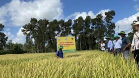 """Bà con nông dân huyện Trần Văn Thời (Cà Mau) cùng các chuyên gia thăm mô hình """"Canh tác lúa thông minh"""""""
