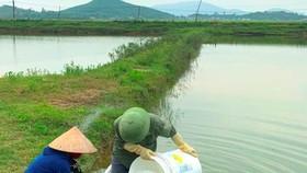 Xử lý ao nuôi tôm bị bệnh đốm trắng ở huyện Kỳ Anh, Hà Tĩnh. Ảnh: DƯƠNG QUANG