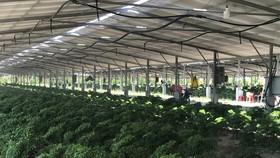 Mô hình trồng cây đinh lăng kết hợp áp mái pin năng lượng mặt trời