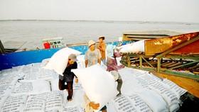 Các doanh nghiệp ở An Giang thu mua gạo chất lượng cao phục vụ xuất khẩu. Ảnh: HOÀNG LÊ
