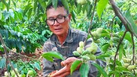 Vườn dổi của ông Thẩm (xã Sơ Pai) cho thu hoạch sau 3 năm trồng. Ảnh: HỮU PHÚC
