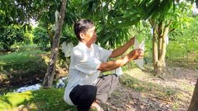 Ứng dụng kỹ thuật, trồng xoài theo tiêu chuẩn VietGAP