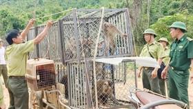 Thả 12 cá thể khỉ vào Vườn Quốc gia Vũ Quang