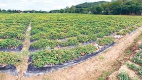 Cánh đồng trồng sâm Báo tại xã Vĩnh Hùng (huyện Vĩnh Lộc, Thanh Hóa)