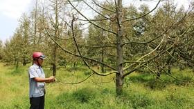 Nhiều vườn sầu riêng ở Tiền Giang suy kiệt do hạn mặn