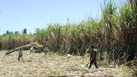Nông dân đang thu hoạch mía