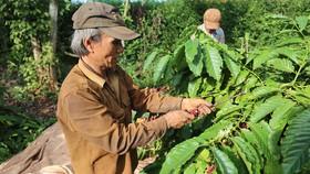 Nhiều nhà vườn tại TP Buôn Ma Thuột (Đắk Lắk) có năng suất cà phê giảm khoảng 30%. Ảnh: ĐÔNG NGUYÊN