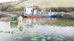 Thả thực vật phù du nuôi trai tại một trang trại biển ở Ireland