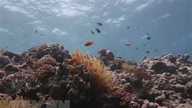 Một phần của rạn san hô Great Barrier bị tẩy trắng. Ảnh: TTXVN