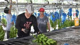 Người lao động thu hoạch chuối tại một trang trại trồng chuối ở huyện Củ Chi, TPHCM. Nguồn: Thanhuytphcm