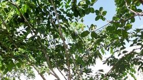 Cây Gõ đỏ đang phát triển xanh tốt ở Bình Phước