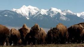 Bò rừng Bison tại Khu bảo tồn động vật hoang dã dãy Bison quốc gia