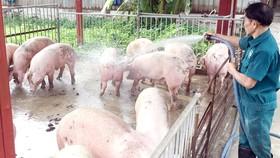 Tái cơ cấu chăn nuôi heo theo hướng an toàn sinh học