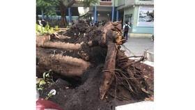 Trách nhiệm khi cây xanh trong sân trường gãy đổ