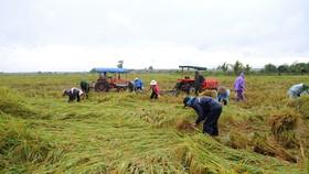 Miền Trung: Hàng ngàn hécta lúa chín bị ngập úng, hư hại