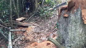 Thừa Thiên - Huế: Nhiều cây cổ thụ bị đốn hạ tại rừng phòng hộ A Lưới