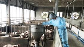 Chờ chính sách hỗ trợ người chăn nuôi