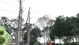 Định hình,tăng tính thẩm mỹ cho hệ thống cây xanh