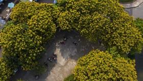 Lang thang mùa điệp vàng xứ Huế