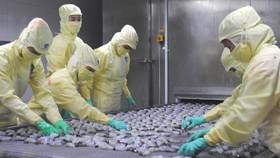 Cà Mau: Xuất khẩu tôm giảm mạnh, tồn kho khoảng 20.000 tấn hàng