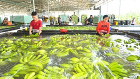Thu hoạch chuối xuất khẩu tại Công ty TNHH một thành viên Bò sữa TPHCM, tại huyện Củ Chi Ảnh: VIỆT DŨNG