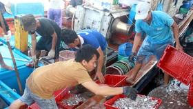 Sau bão số 6, ngư dân Quảng Ngãi tranh thủ đánh bắt ven bờ
