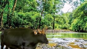 Bò tót F1 tại Vườn quốc gia Phước Bình khỏe mạnh sau thời gian được chăm sóc.