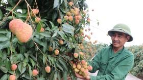 Vải thiều xuất khẩu sang Nhật: Mở đường thêm nhiều loại trái cây