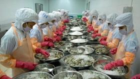 Chế biến tôm đông lạnh xuất khẩu tại Công ty TNHH Thông Thuận, tỉnh Ninh Thuận. (Nguồn: TTXVN)