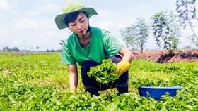 Bà Nguyễn Ngọc Hương tại vùng trồng nguyên liệu rau má của mình theo chuẩn quốc tế.