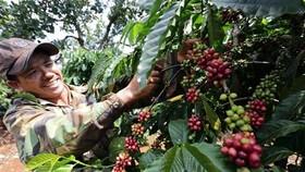 Nông dân xã Ia Kla, huyện Đức Cơ (Gia Lai) chăm sóc vườn càphê. Xuất khẩu càphê của Việt Nam mỗi năm đạt kim ngạch trên 2 tỷ USD. (Ảnh: TTXVN)