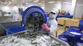 Vận chuyển tôm nguyên liệu vào nhà máy chế biến sản phẩm tôm xuất khẩu tại nhà máy của Tập đoàn Thủy sản Minh Phú tỉnh Cà Mau. (Ảnh: Vũ Sinh/TTXVN)