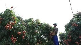 Thu hoạch vải thiều chín thôn Phúc Giới, xã Thanh Quang, huyện Thanh Hà, Hải Dương. (Ảnh: Vũ Sinh/TTXVN)