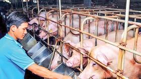 Trên 80% nguyên liệu sản xuất thức ăn chăn nuôi phải nhập khẩu về chế biến.