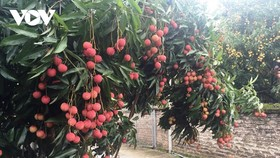 Bắc Giang đã xây dựng 3 kịch bản tiêu thụ trái vải thiều trong tình hình dịch bệnh Covid-19.