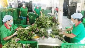 Sơ chế rau tại HTX Phú Lộc (huyện Củ Chi, TPHCM)