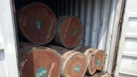Vảy tê tê được ngụy trang trong các khúc gỗ. Ảnh: ĐAN NGUYÊN