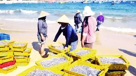Ngư dân Bình Định trúng lớn