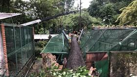 Cây xanh bật gốc đè sập chuồng thú ở Thảo Cầm viên Sài Gòn trên 60 năm tuổi. Ảnh: C.T