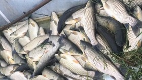 Cá chết nhiều khiến người dân bị thiệt hại nặng. Ảnh: X.M.