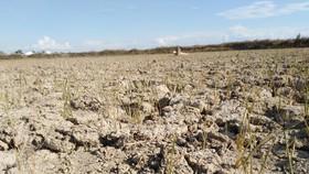 Hàng ngàn hecta lúa ở Nghệ An chết cháy do nắng nóng