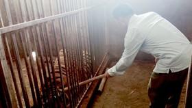 """8/17 con hổ nuôi nhốt tại Nghệ An được """"giải cứu"""" đã chết"""