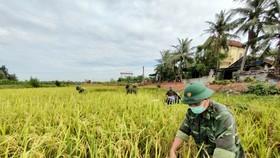 Cán bộ, chiến sĩ Đồn Biên phòng Diễn Thành giúp dân thu hoạch lúa
